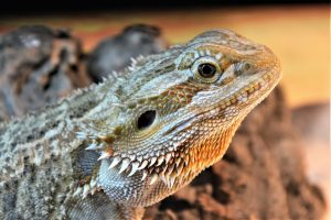 closeup of bearded dragon
